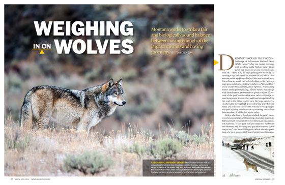 Weighing in on Wolves article cover