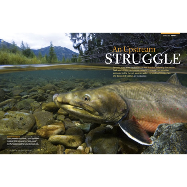 A bull trout in a Montana stream.