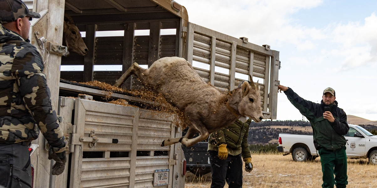 Bighorn sheep jumping out of trailer.