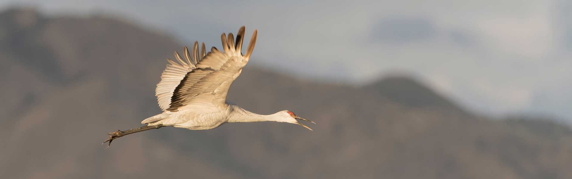 A sandhill crane in flight.